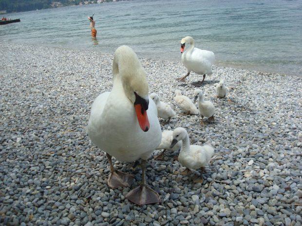 Una famigliola di cigni sulla spiaggia   ©foto Sandra Longinotti