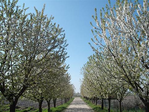 © Riserva San Massimo, filari di ciliegi (foto Dino Massignani)