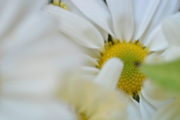 Fiore di Crisantemo a margherita bianco   ©foto Marino Visigalli