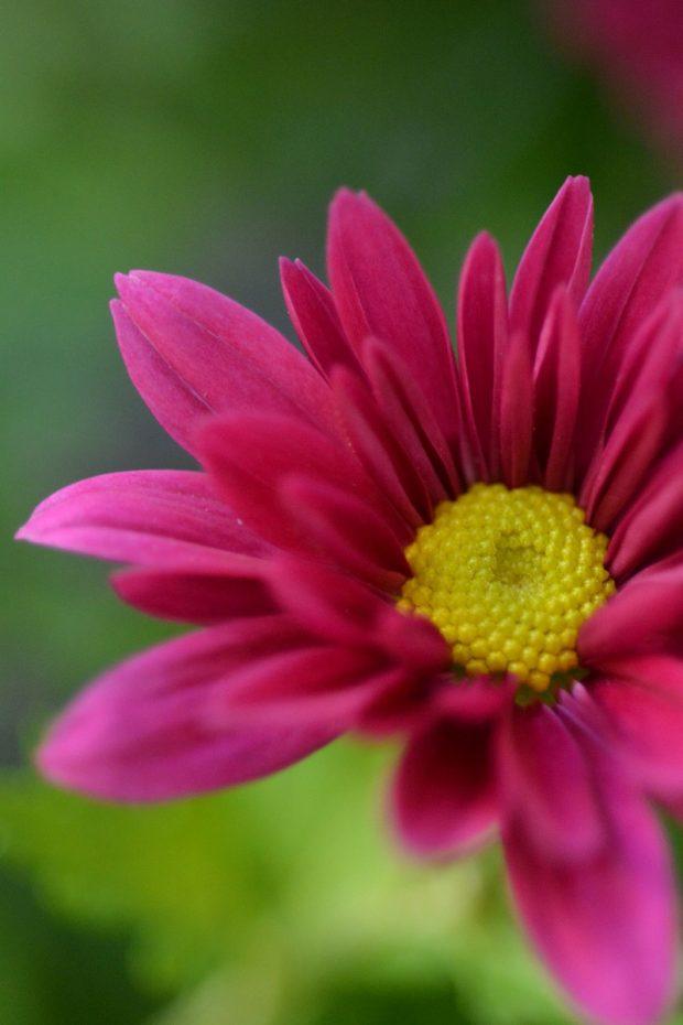 Fiore di Crisantemo a margherita fucsia   ©foto Marino Visigalli