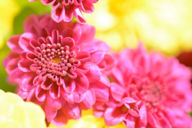 Fiori di Crisantemo anemone fucsia   ©foto Marino Visigalli