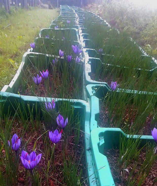 coltivazione dello zafferano | ©foto Croco e Smilace