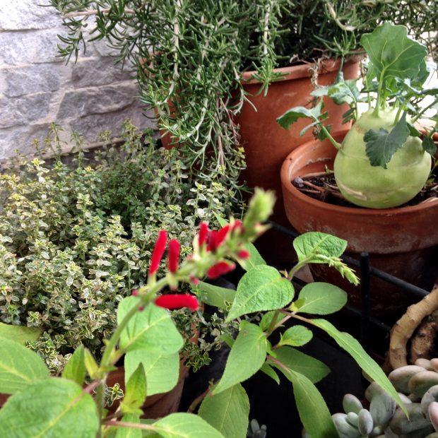 Cavolo rapa e aromatiche sul mio balcone | ©foto Sandra Longinotti
