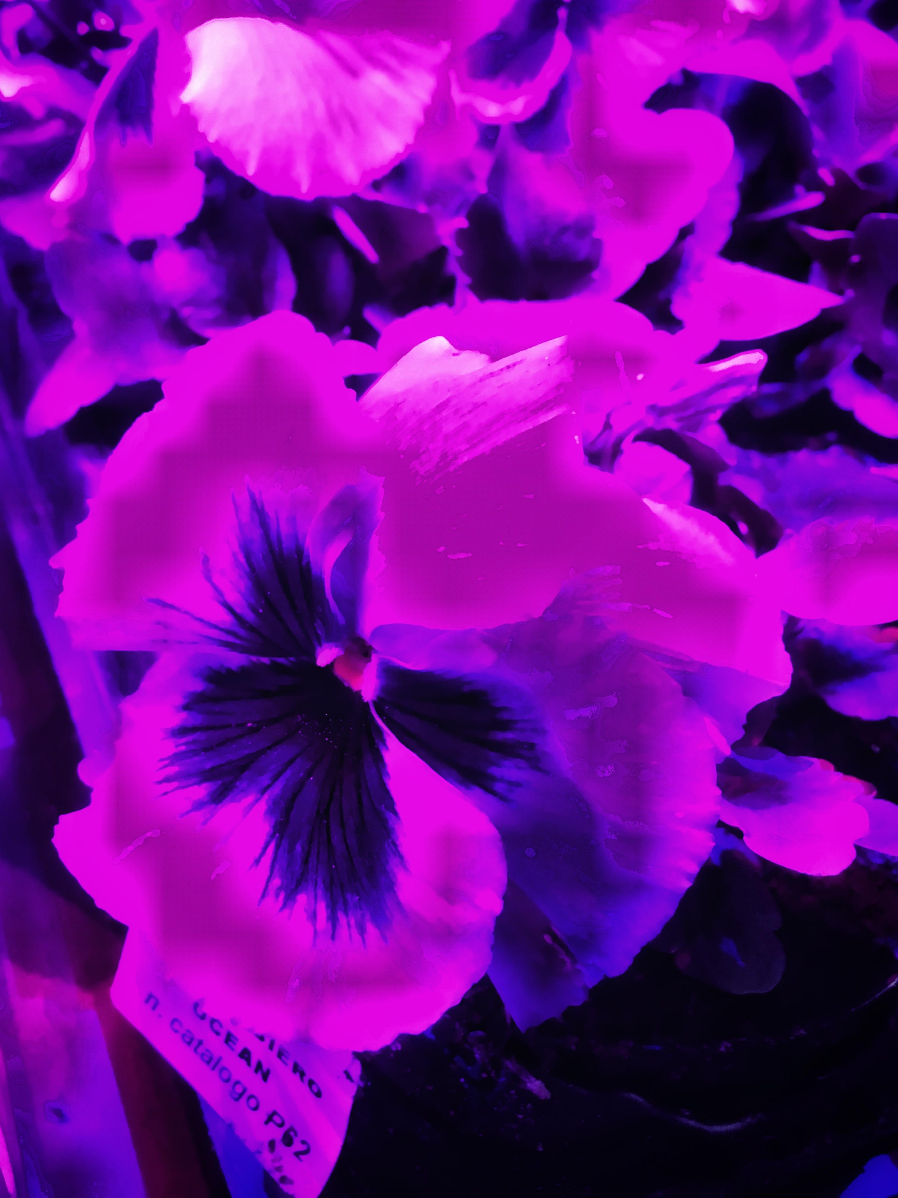quella viola è la luce per piante da interni più efficace | ©foto Sandra LOnginotti