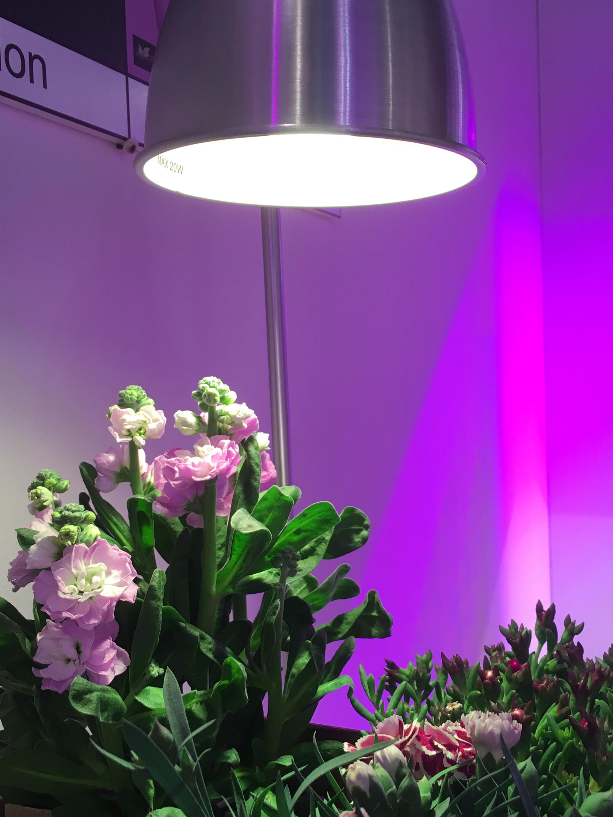 fra le luci per piante da interni come alternativa alla luce viola si può scegliere una lampadina a LED bianca | ©foto Sandra Longinotti