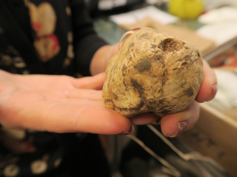 un tartufo bianco con la tipica fossetta dell'assaggio di una lumaca | ©foto Sandra Longinotti