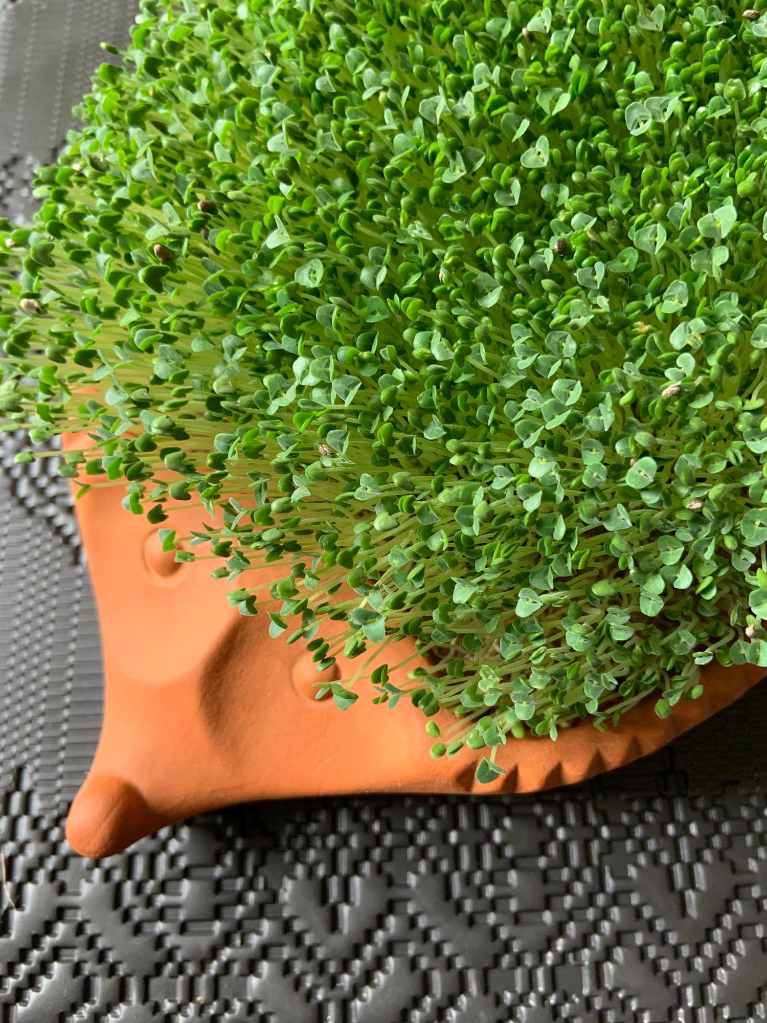 Germogli di semi di Chia | ©foto Sandra Longinotti