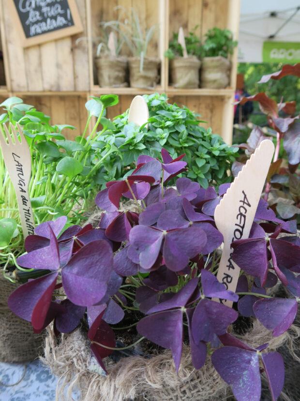 Acetosella rossa ha foglie di un bel color porpora dal gusto acidulo, da aggiungere alle tue insalate di tendenza | ©foto Sandra Longinotti